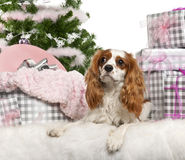 Cavalier King Charles Spaniel, 18 months old Royalty Free Stock Images