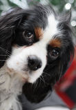 Cavalier king charles spaniel. Young dog - cavalier king charles spaniel Royalty Free Stock Photos