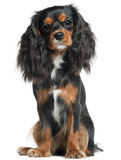 Cavalier King Charles Spaniel Royalty Free Stock Photo
