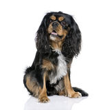 Cavalier King Charles Spaniel, 2 years old. Royalty Free Stock Photography