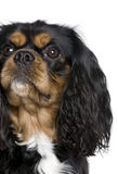 Cavalier King Charles Spaniel, 2 years old. Stock Photo