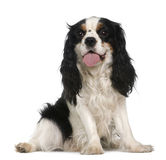 Cavalier king Charles spaniel, 2 years old Royalty Free Stock Photography