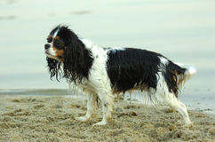 Cavalier king charles spaniel. Wet Cavalier king charles spaniel on the beach royalty free stock photos