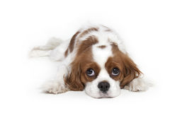 Cavalier King Charles Spaniel. Laying down isolated on white background Royalty Free Stock Images