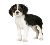 Cavalier King Charles Spaniel (3,5 months) Stock Photo