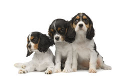 Cavalier King Charles Spaniel (3 months) Stock Image