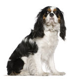 Cavalier King Charles Spaniel, 3 years old, Royalty Free Stock Photos