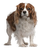 Cavalier King Charles Spaniel, 3 years old Stock Images
