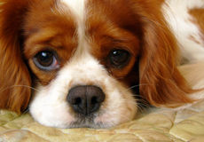 Cavalier king charles spaniel Stock Photos