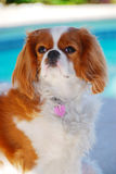Cavalier King Charles Spaniel. Stock Images