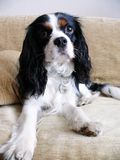 Cavalier king charles spaniel Royalty Free Stock Images