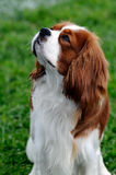 Cavalier King Charles Spaniel Stock Images
