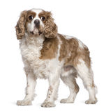 Cavalier King Charles Spaniel, 7 years old Royalty Free Stock Image