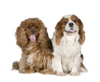 Cavalier King Charles Spaniel (8 years) Royalty Free Stock Photos