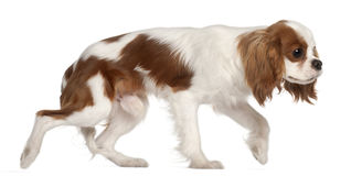 Cavalier King Charles Spaniel, 9 months old Royalty Free Stock Image