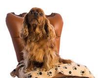 Cavalier King Charles Spaniel on armchair stock photo