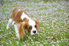 Cavalier King Charles spaniel. Attractive dog of small breed. Cavalier King Charles Spaniel puppie dog royalty free stock photo