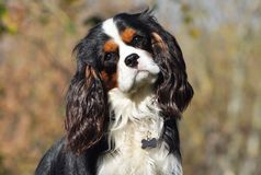 Cavalier King Charles Spaniel in the Autumn Royalty Free Stock Photo