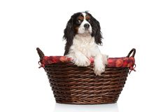 Cavalier King Charles spaniel in basket Stock Photos
