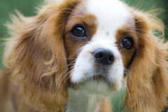 Cavalier King Charles Spaniel, beautiful red-haired dog. King Charles Charles dog basking in the sun royalty free stock photography