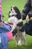Cavalier King Charles Spaniel, being pampered Royalty Free Stock Image