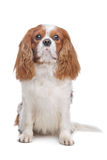 Cavalier King Charles Spaniel Blenheim Royalty Free Stock Photo