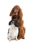 Cavalier King Charles Spaniel and a blind Irish Re Stock Photos