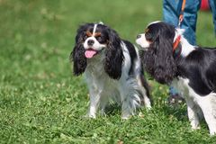 Cavalier King Charles Spaniel is a breed of companion dogs, a sm. Cavalier king charles spaniel. Space under the text. Concept: parodist dogs, dog friend of man royalty free stock images