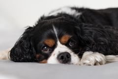 Cavalier King Charles Spaniel. Laying on a grey blanket looking at camera Royalty Free Stock Photo