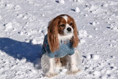 Chestnut and White Cavalier King Charles Spaniel Stock Photography