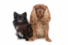 Cavalier King Charles Spaniel chihuahua Royalty Free Stock Photos