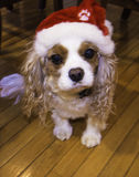 Cavalier King Charles Spaniel with Christmas hat Royalty Free Stock Images