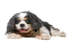 Cavalier King Charles Spaniel dog. Cute Cavalier King Charles Spaniel dog lying, isolated on a white background Stock Photos