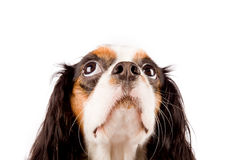 Cavalier King Charles Spaniel - Dog. Photo of a cavalier king charles spaniel dog on white isolated background Stock Images