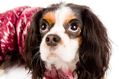 Cavalier King Charles Spaniel - Dog Royalty Free Stock Photo