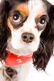 Cavalier King Charles Spaniel - Dog Royalty Free Stock Photography