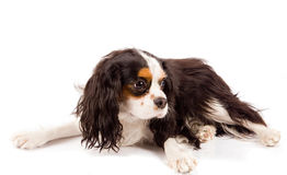 Cavalier King Charles Spaniel - Dog Royalty Free Stock Photos