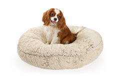 Cavalier King Charles Spaniel Dog. On a cream color dog bed against a white backdrop Stock Photo