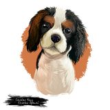 Cavalier King Charles Spaniel dog breed isolated on white background digital art illustration. Cute pet hand drawn. Portrait. Graphic clipart design realistic stock photo