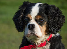 Cavalier King Charles Spaniel Dog Breed. Portrait of a female tricolor Cavalier King Charles Spaniel dog, in local park Royalty Free Stock Photography