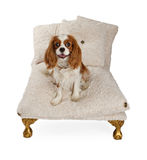 Cavalier King Charles Spaniel Dog on Luxury Bed. Cavalier King Charles Spaniel dog on a luxury dog bed isolated on white Royalty Free Stock Photos