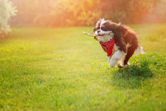 Cavalier king charles spaniel dog playing and running with stick in summer sunny garden Royalty Free Stock Image