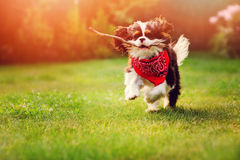 Cavalier king charles spaniel dog playing and running with stick in summer sunny garden Royalty Free Stock Photo