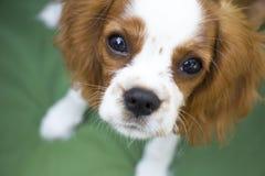 Cavalier King Charles Spaniel dog portrait. Beautiful brown white dog portrait King Charles Charles dog royalty free stock photos