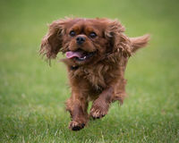 Cavalier King Charles Spaniel dog. Portrait of Cavalier King Charles spaniel dog running on green grass with tongue out Stock Image