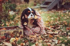 Cavalier king charles spaniel dog relaxing outdoor on autumn walk with apples in wooden basket, wrapped in cozy knitted scarf. Cavalier king charles spaniel dog Royalty Free Stock Images