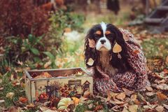 Cavalier king charles spaniel dog relaxing outdoor on autumn walk with apples in wooden basket, wrapped in cozy knitted scarf. Cavalier king charles spaniel dog Stock Images
