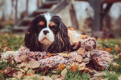 Cavalier king charles spaniel dog relaxing outdoor on autumn walk with apples in wooden basket, wrapped in cozy knitted scarf. Cavalier king charles spaniel dog Stock Photo