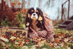 Cavalier king charles spaniel dog relaxing outdoor on autumn walk with apples in wooden basket, wrapped in cozy knitted scarf. Cavalier king charles spaniel dog Stock Photography