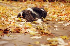 Cavalier king charles spaniel dog relaxing outdoor on autumn walk in garden, sitting on stone pathway. Cavalier king charles spaniel dog relaxing outdoor on Royalty Free Stock Photos